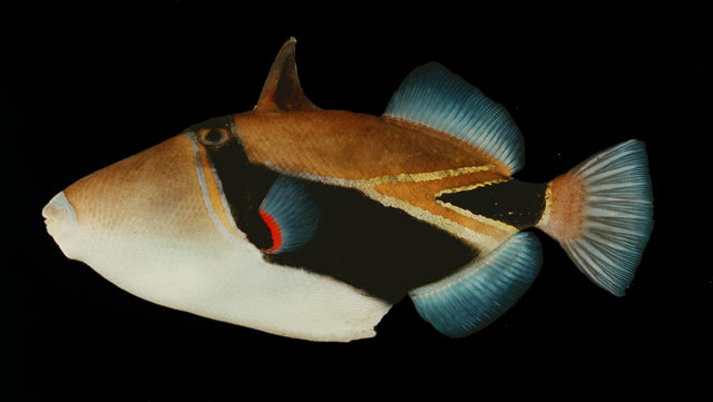 ปลาวัวหางลิ่ม