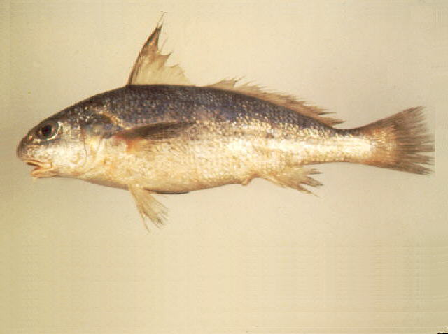 ปลาจวดเครา
