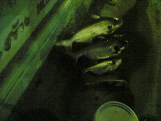 ปลาเทโพแม่น้ำน่าน (จังหวัดพิษณุโลก)
