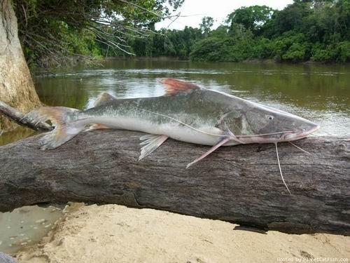 11 ปลาน้ำจืดที่ใหญ่ที่สุดในโลก