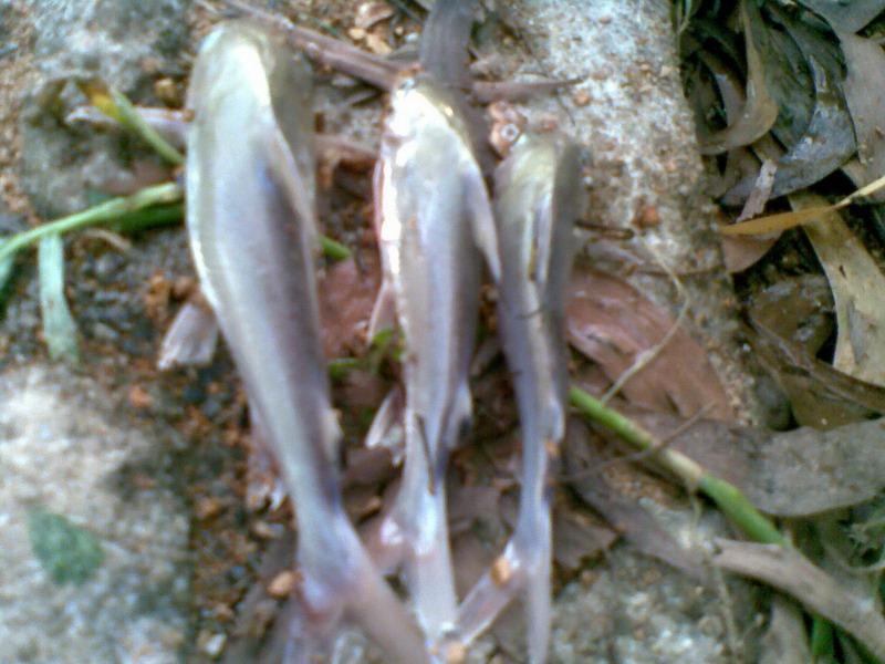 ทริฟตกปลาหัวโบ้ง