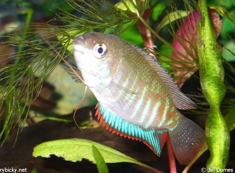 บอกเล่าเก้าสิบ กับ การเปลี่ยนชื่อสกุลปลากระดี่ไทย