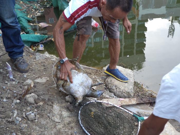 ตะพาบไทย