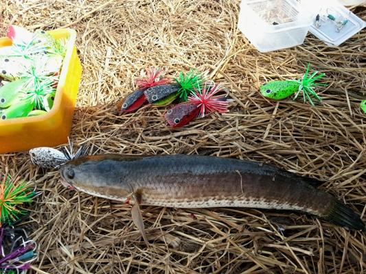 ปลาช่อนขอลองtestเหยื่อ