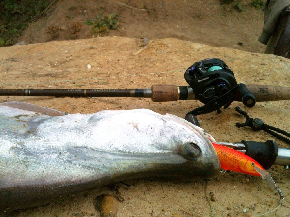 ปลากรายสายเหนือ