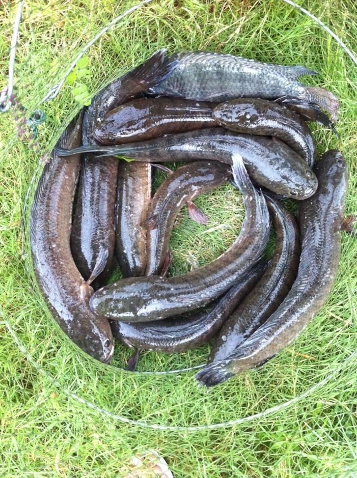 1 วัน กับปลาช่อนบางขนาก