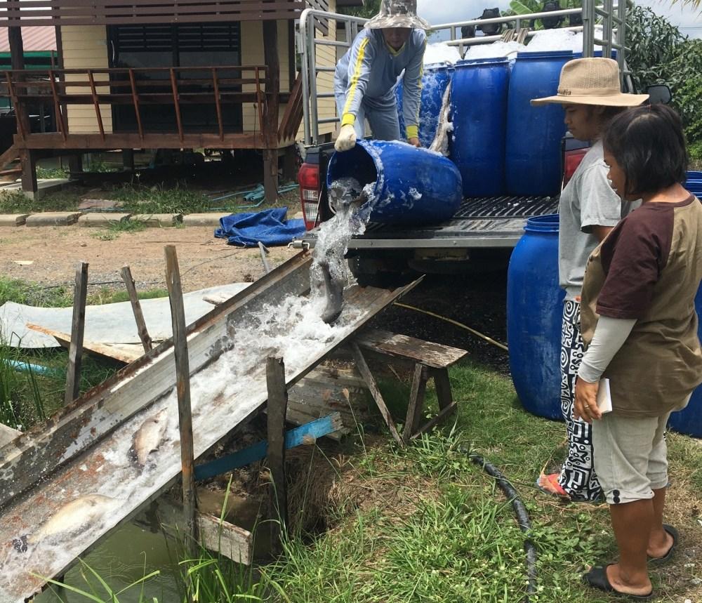 ลงปลาใหม่ บ่อบ่อนไก่ลาดหลุมแก้ว 200 โล