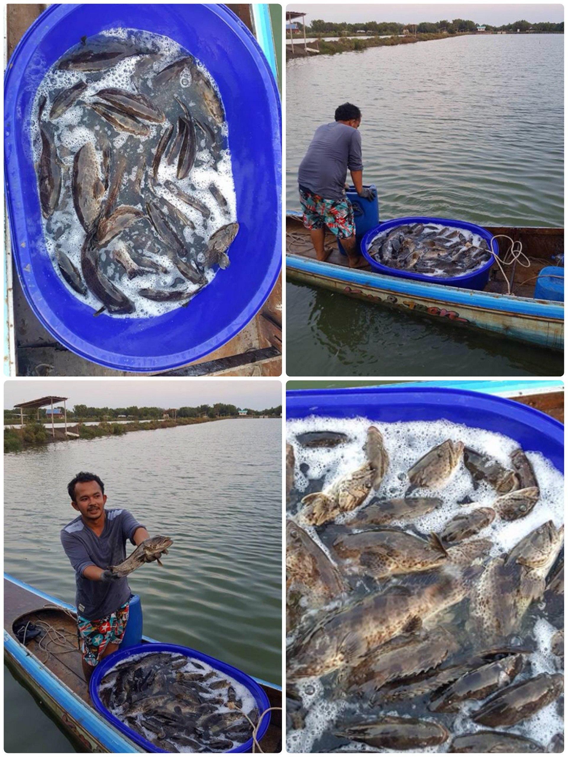 เก๋าบุฟเฟ่ บ่อน้องวิน ลงเก๋า274ตัว เล้กแต่เย่อะ ปลาค้างบ่อใหญ่ๆ ร้อยบวก
