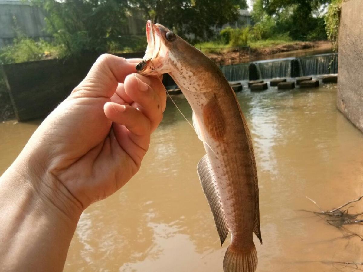 ปลาช่อนฝายทดน้ำ กับกระดี่เหล็ก
