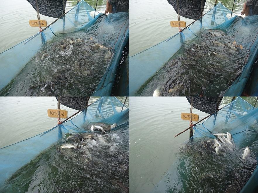 ลงปลาแล้วคับ